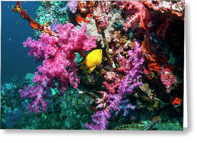Golden Damselfish And Soft Corals Greeting Card