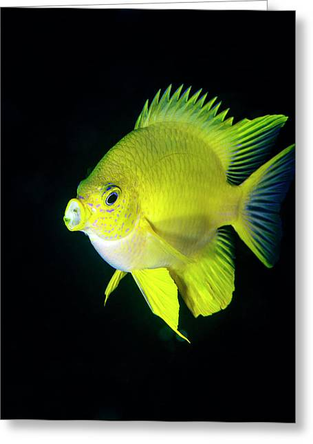Golden Damselfish Greeting Card