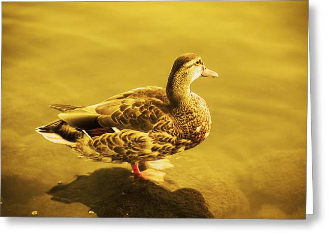 Golden Duck Greeting Card by Nicola Nobile