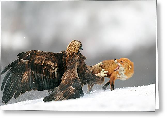 Golden Eagle And Red Fox Greeting Card