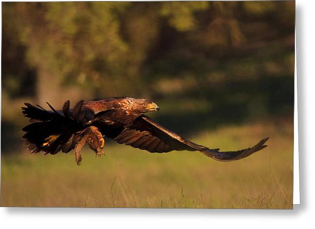 Golden Eagle On The Hunt Greeting Card