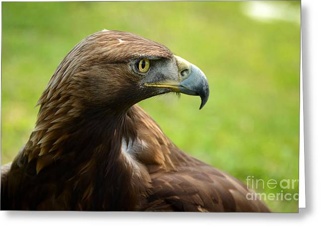 Golden Eagle Greeting Card by RicardMN Photography