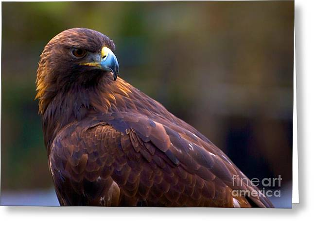 Golden Eagle Greeting Card by Terry Horstman