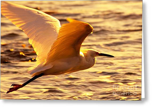 Golden Egret Bird Nature Fine Photography Yellow Orange Print  Greeting Card