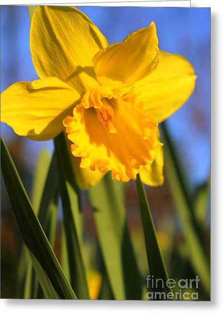 Golden Glory Daffodil Greeting Card by Kathy  White