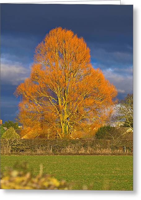 Greeting Card featuring the photograph Golden Glow - Sunlit Tree by Paul Gulliver