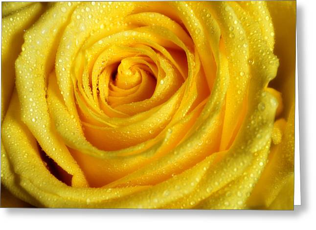 Golden Grandeur Of Nature. Yellow Rose I Greeting Card by Jenny Rainbow