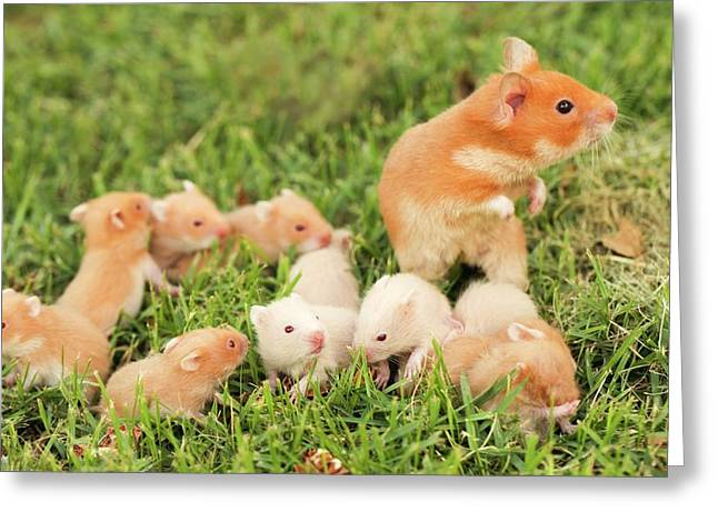 Golden Hamster With Young Greeting Card by Photostock-israel