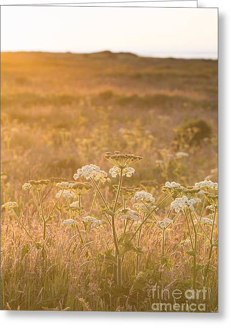 Golden Hogweed Greeting Card by Anne Gilbert