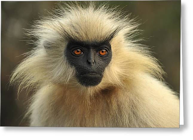 Golden Langur Chakrashila Wildlife Greeting Card by Thomas Marent
