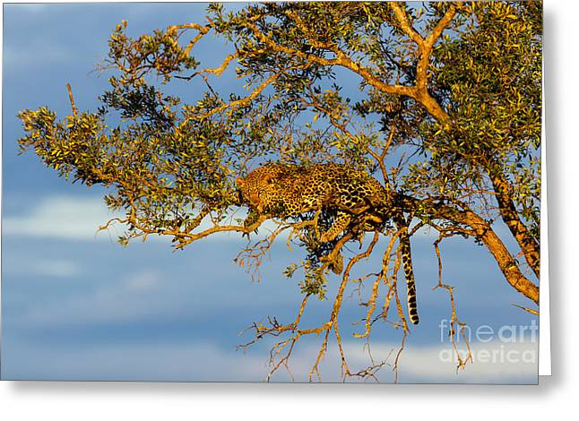 Golden Leopard In The Tree Greeting Card by Maggy Meyer