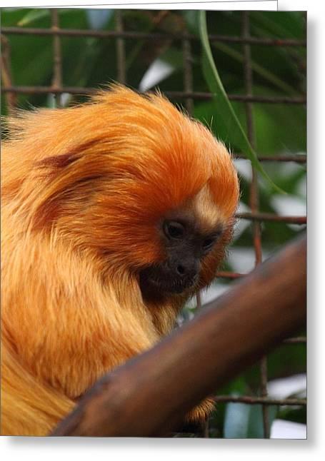 Golden Lion Tamarin - National Zoo - 011311 Greeting Card