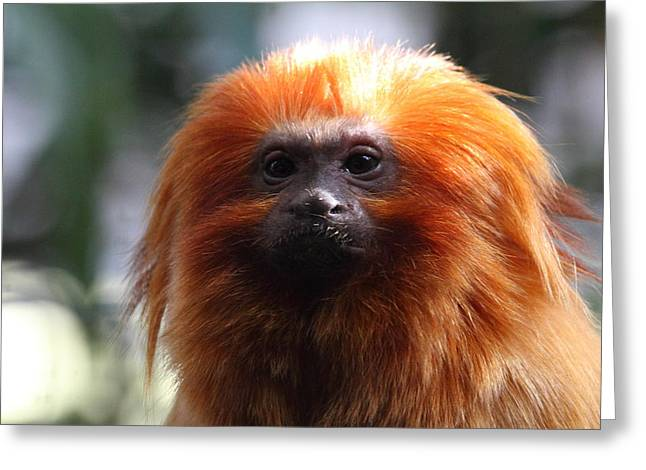 Golden Lion Tamarin - National Zoo - 011313 Greeting Card by DC Photographer