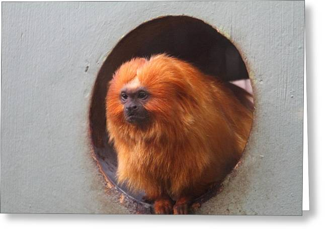 Golden Lion Tamarin - National Zoo - 01133 Greeting Card by DC Photographer