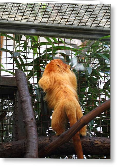 Golden Lion Tamarin - National Zoo - 01139 Greeting Card by DC Photographer