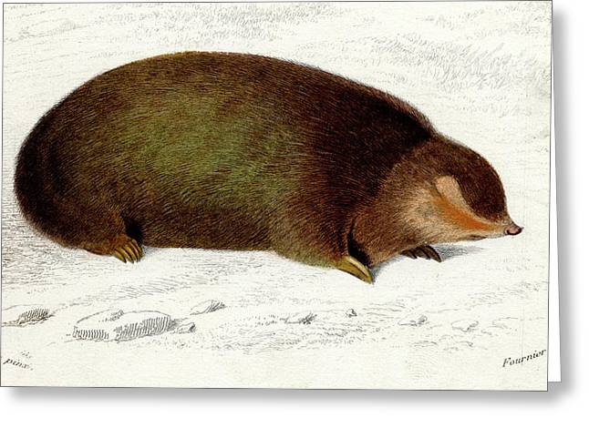 Golden Mole Greeting Card by Collection Abecasis