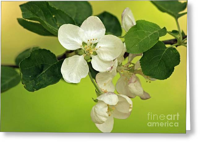 Golden Moments - Wild Apple Blossom  Greeting Card