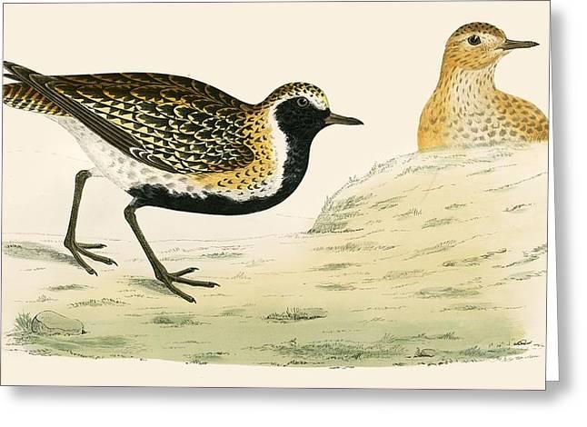 Golden Plover Greeting Card by Beverley R Morris