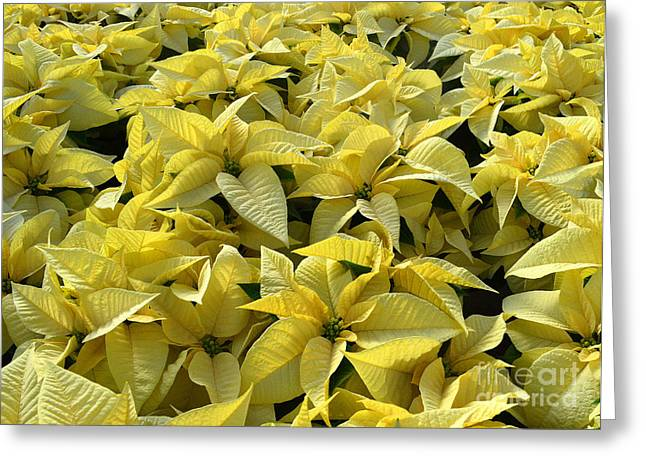 Golden Poinsettias Greeting Card by Catherine Sherman