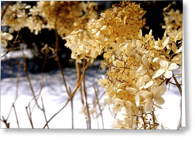 Golden Purity Greeting Card by Danielle  Broussard