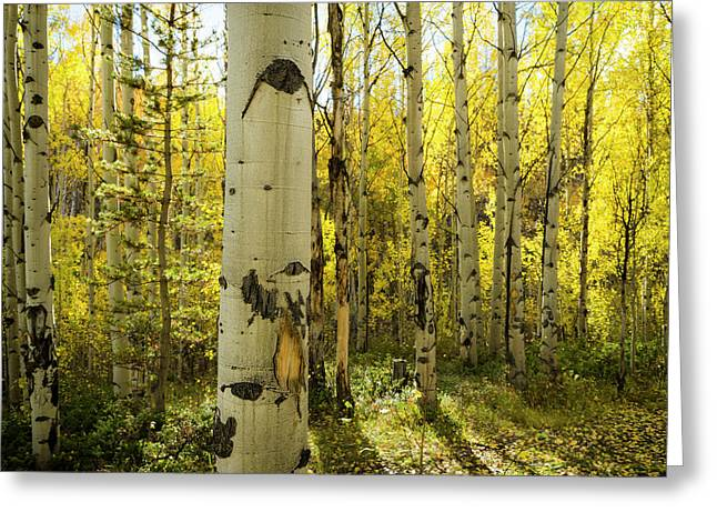 Golden Quaking Aspen In Full Fall Greeting Card by Maresa Pryor