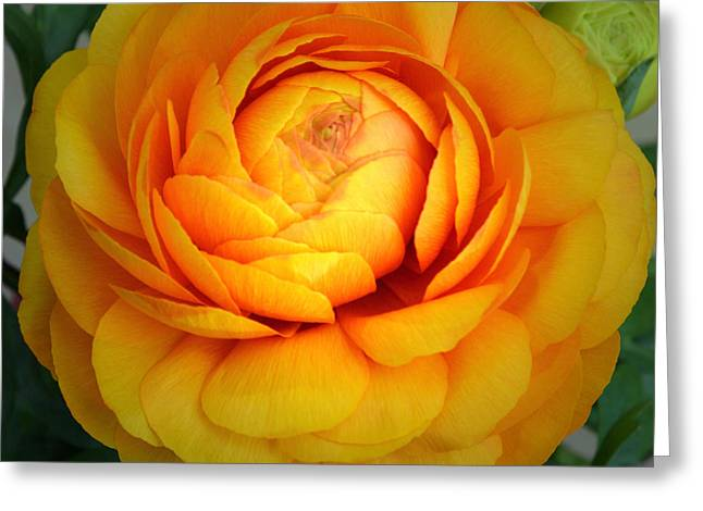 Golden Ranunculus. Greeting Card by Terence Davis