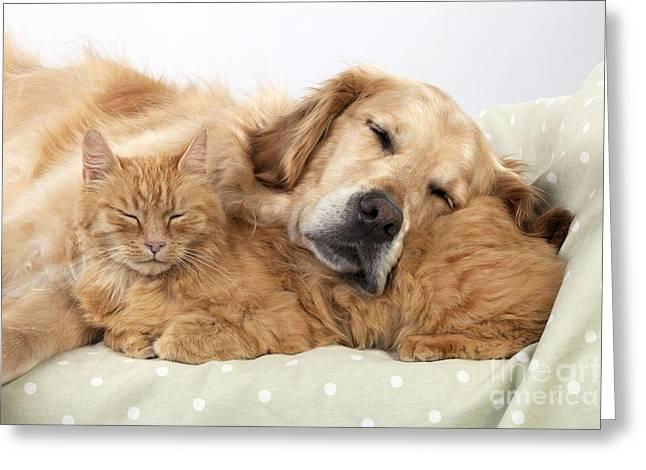 Golden Retriever And Orange Cat Greeting Card
