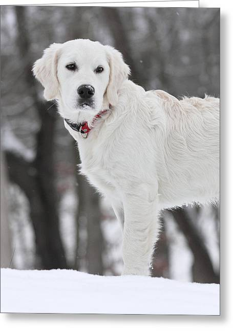 Golden Retriever In The Snow Greeting Card