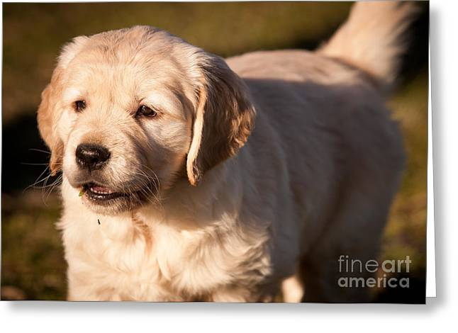 Golden Retriever Puppy Greeting Card by Chuck Spang