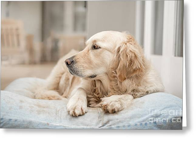Golden Retriever Resting Greeting Card by Jacques Jacobsz