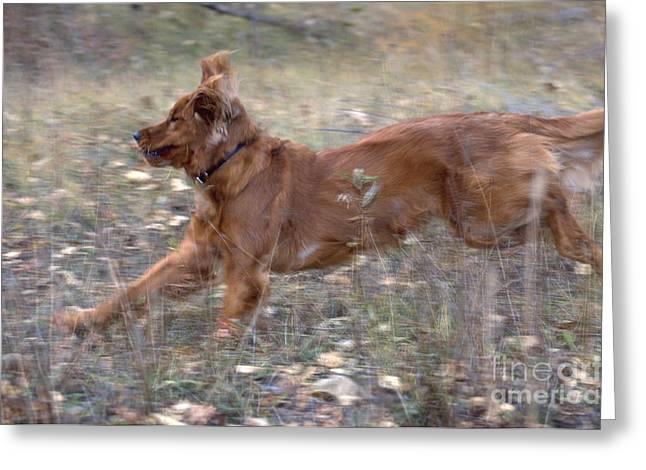 Golden Retriever Running Greeting Card