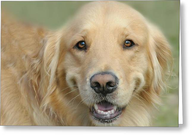 Golden Retriever Standard Greeting Card by Diana Angstadt