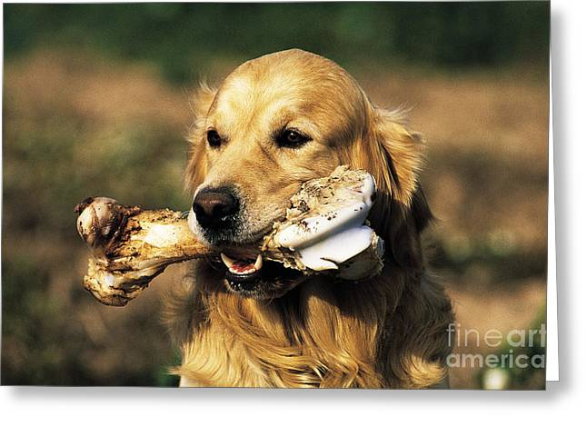 Golden Retriever Greeting Card by Tierbild Okapia
