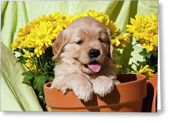 Golden Retriever Waiting At Obedience Greeting Card by Zandria Muench Beraldo