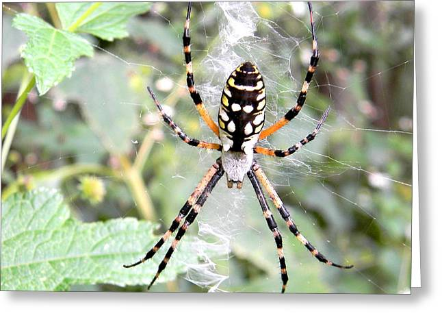 Greeting Card featuring the photograph Golden Silk Spider by Jodi Terracina