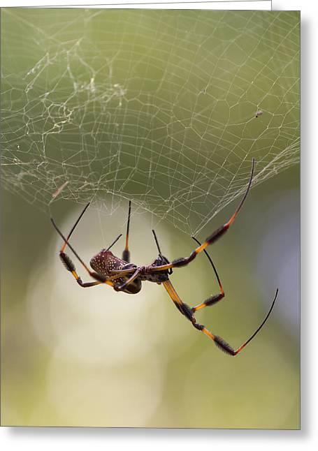 Golden-silk Spider Greeting Card