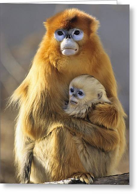 Golden Snub-nosed Monkey And Baby China Greeting Card