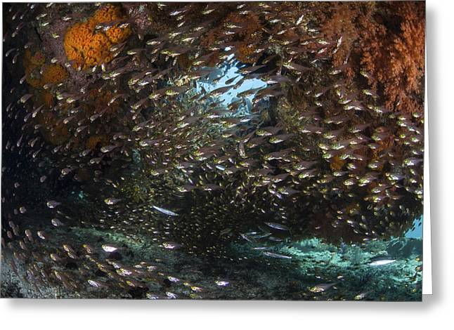 Golden Sweepers Swim Under A Coral Greeting Card by Ethan Daniels