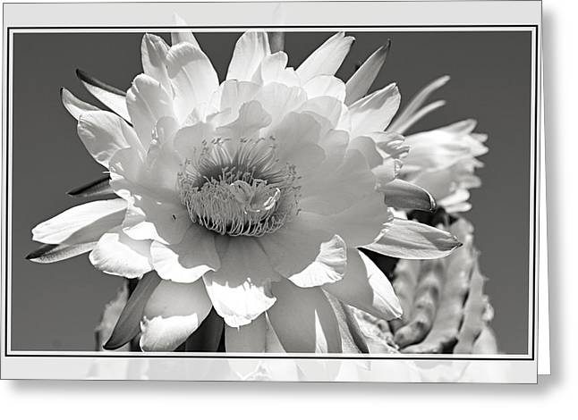 Golden Torch Cactus 5 Greeting Card by Cindy Nunn