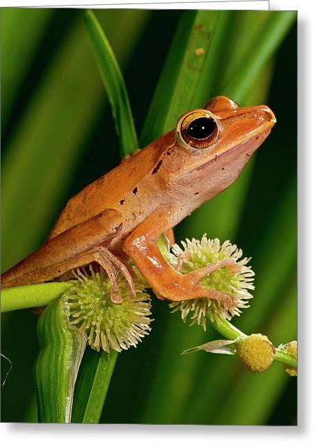 Golden Treefrog, Rhacophorus Greeting Card by David Northcott