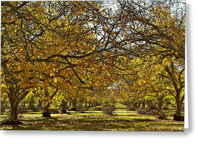 Golden Walnut Orchard Greeting Card
