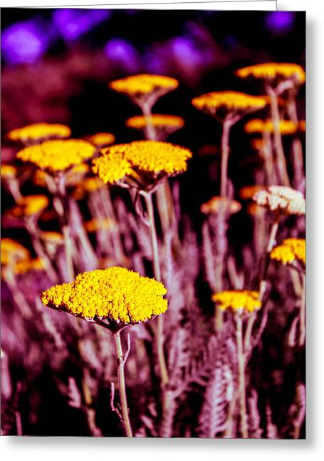 Golden Yarrow On A Blood Moon Night Greeting Card by Dave Garner