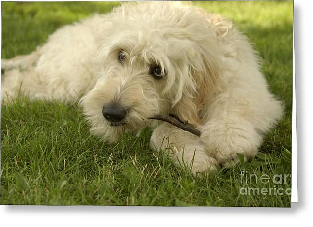 Goldendoodle Pup With Stick Greeting Card