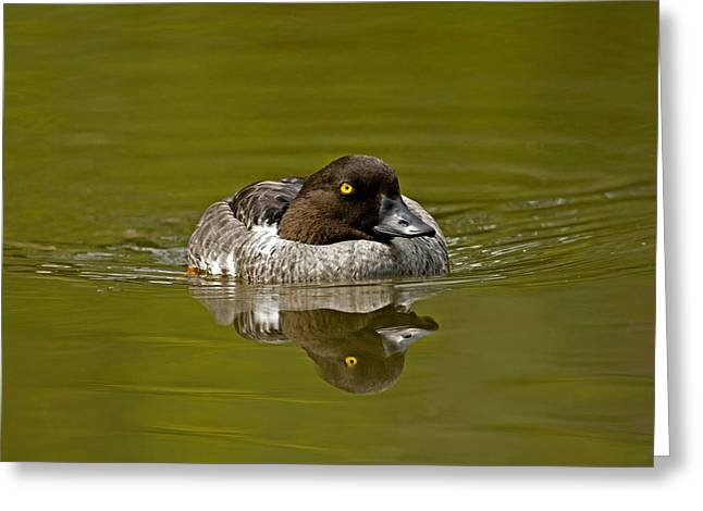 Goldeneye Greeting Card by Paul Scoullar