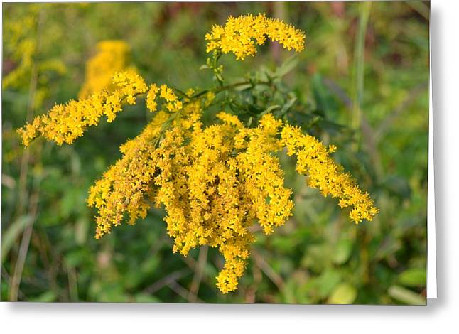Greeting Card featuring the photograph Goldenrod by Mary Zeman