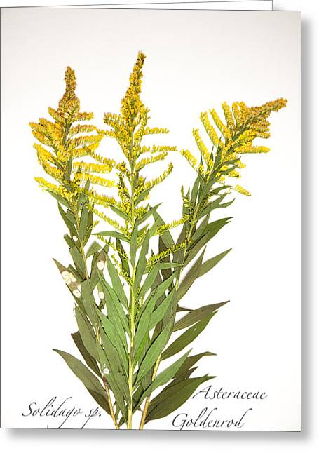 Goldenrod Greeting Card