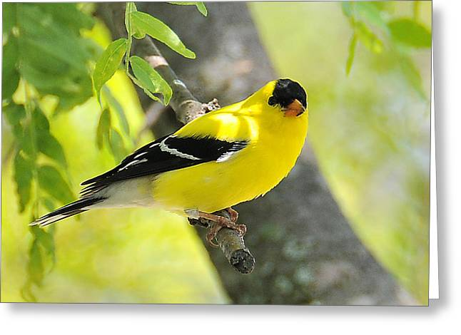 Goldfinch 299 Greeting Card