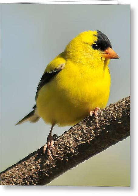 Goldfinch 306 Greeting Card