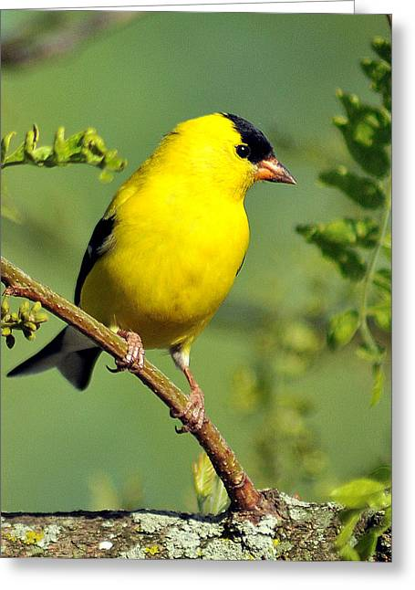 Goldfinch 328 Greeting Card