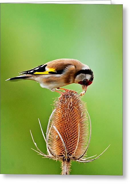 Goldfinch Feeding On Teasel Comb. Greeting Card